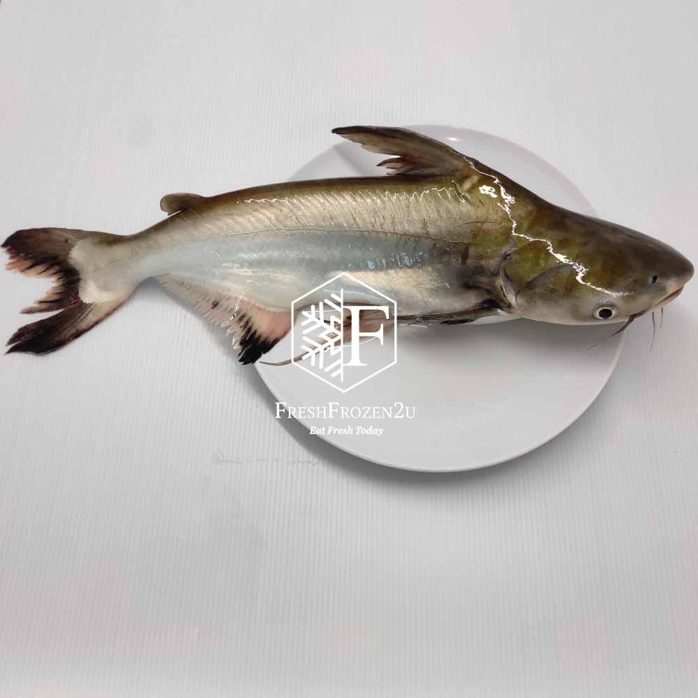 Fish Patin Gold Cleaned (>1 kg) 金巴丁鱼